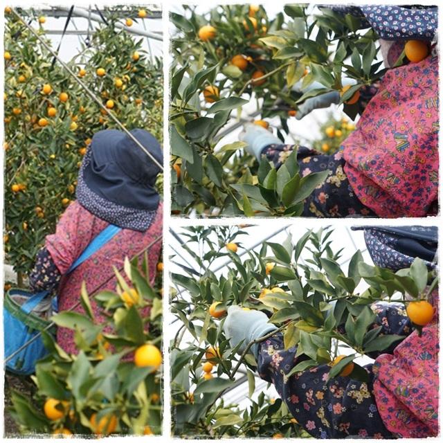 きんかん収穫