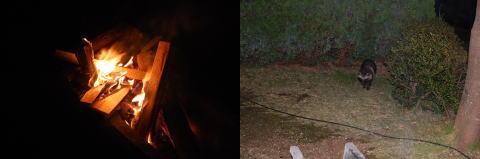 焚き火と狸